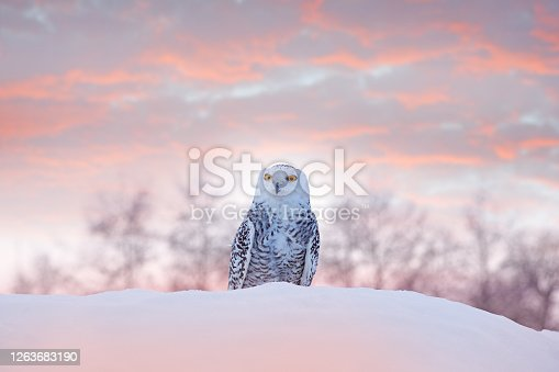 Snowy owl sitting on the snow in the habitat. Cold winter with white bird. Wildlife scene from nature, Manitoba, Canada. Owl on the white meadow, animal behaviour.