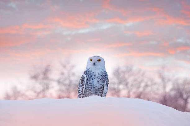 Snowy owl sitting on the snow in the habitat. Cold winter with white bird. Wildlife scene from nature, Manitoba, Canada. Owl on the white meadow, animal behaviour. stock photo