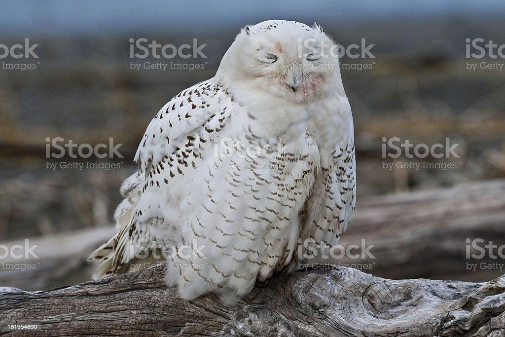 Snowy Owl Sleeping royalty-free stock photo