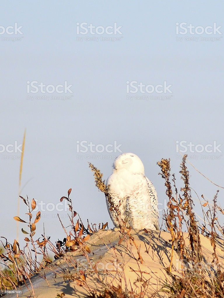 Snowy Owl Sleeping stock photo