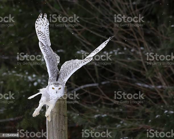 Snowy owl takeoff picture id512549343?b=1&k=6&m=512549343&s=612x612&h=5 wgdqivf inhohq8lthqtv l7r0 vs7uk8d9cxb9hk=