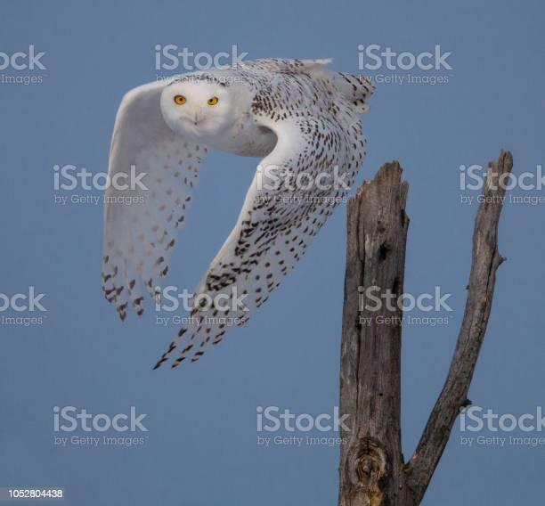 Snowy owl taking off picture id1052804438?b=1&k=6&m=1052804438&s=612x612&h=j75viqtefa9fo7ksjns3xd0adek5bjchen7gaeb5ltg=