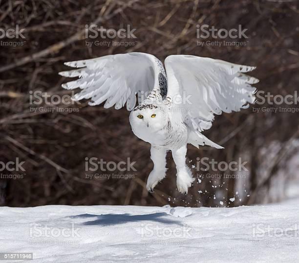Snowy owl taking off picture id515711946?b=1&k=6&m=515711946&s=612x612&h=ej2b ne9q z5ku u9n6bgspyjurb16yzorwuykd4gcs=