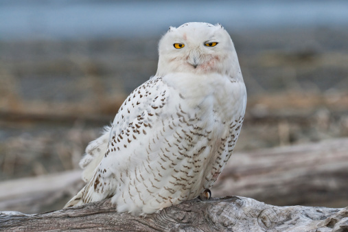 Snowy Owl Watching From A Driftwood Perch Stock Photo - Download Image Now