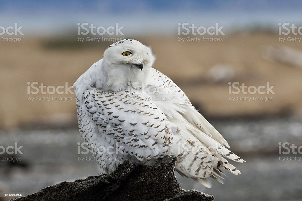 Snowy Owl Watching Over its Shoulder royalty-free stock photo