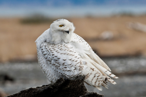 Snowy Owl Watching Over Its Shoulder Stock Photo - Download Image Now