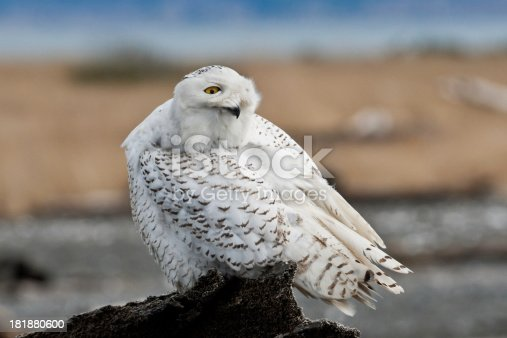 Snowy Owl Watching Over Its Shoulder Stock Photo & More Pictures of Animal