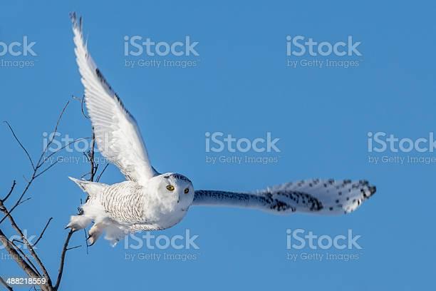 Snowy owl wings spread in flight picture id488218559?b=1&k=6&m=488218559&s=612x612&h=tnvyj znvbdq sam rs6 goe8icbkq2y4gxvd2mvhvy=