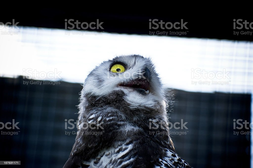 Snowy Owl with Opened Mouth Portrait royalty-free stock photo
