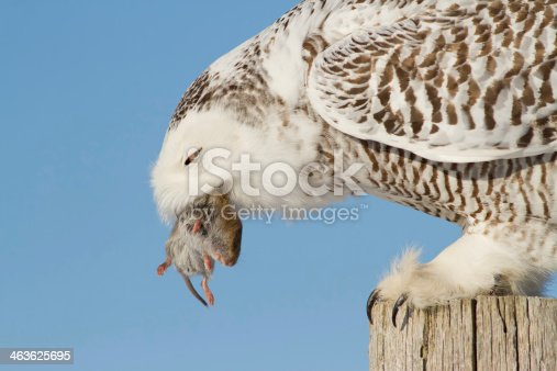 A Snowy Owl has captured a mouse as prey