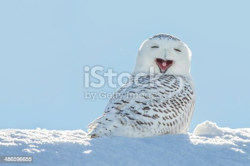 A snowy owl yawning which looks like its laughing.  The owl is sitting in the snow and set against a blue sky.  Snowy owls, bubo scandiacus, are a protected species and one of the largest owls.  This photograph was taken in Northeastern Wisconsin where the bird had migrated for the winter.