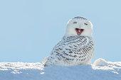 スノーイーミミズク-あくびをする/笑顔の雪