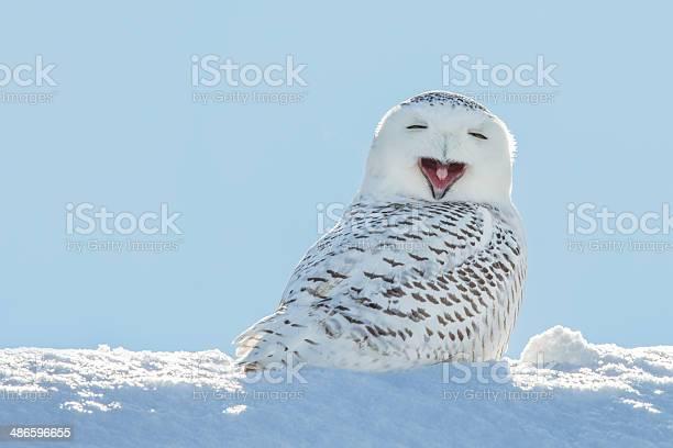 Snowy owl yawning smiling in snow picture id486596655?b=1&k=6&m=486596655&s=612x612&h= xktvmdyjyc58hw5q1fzv12ug7uhsyr7ddb99jxqcre=