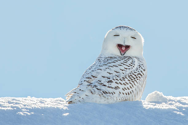snowy owl - yawning / smiling in snow - owl stock photos and pictures