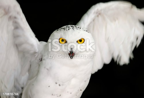 Snowy owl looking at you, motion blur in wings.The white bird of prey, Bubo Scandiacus or Arctic Owl, or Snowy Owl, is an endangered species