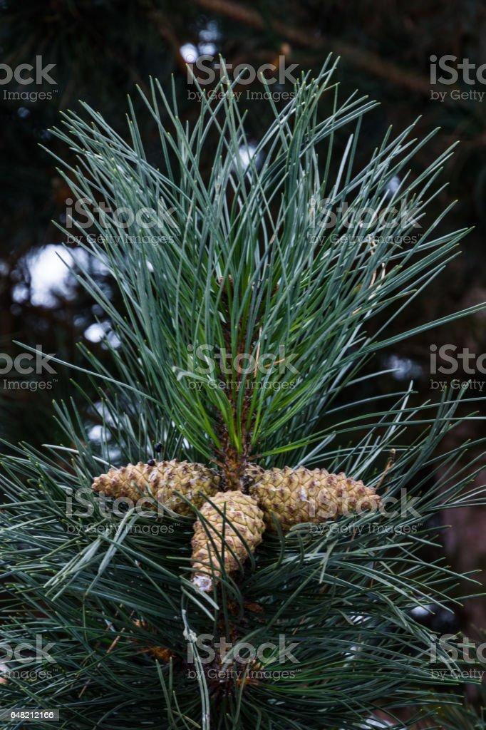 Snowy pine branch stock photo