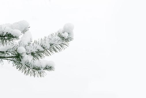 Snowy pine tree branch.