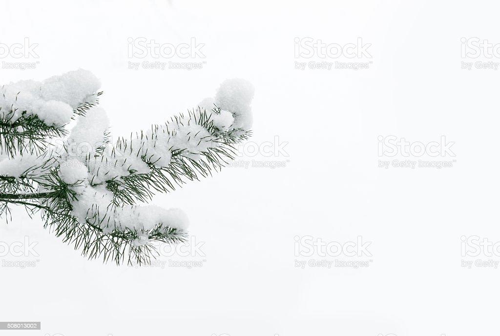 Snowy pine tree branch. stock photo