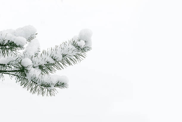 Snowy pine tree branch. stock photo