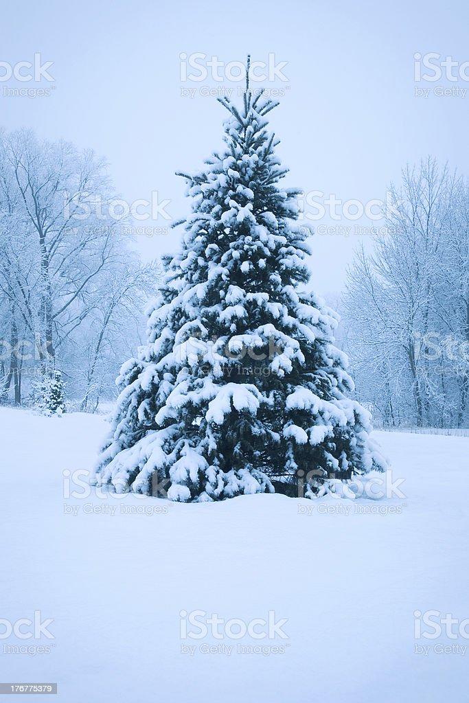 Snowy pine tree royalty-free stock photo