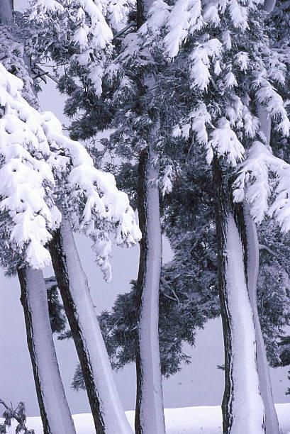 スノーイー松の森 ストックフォト