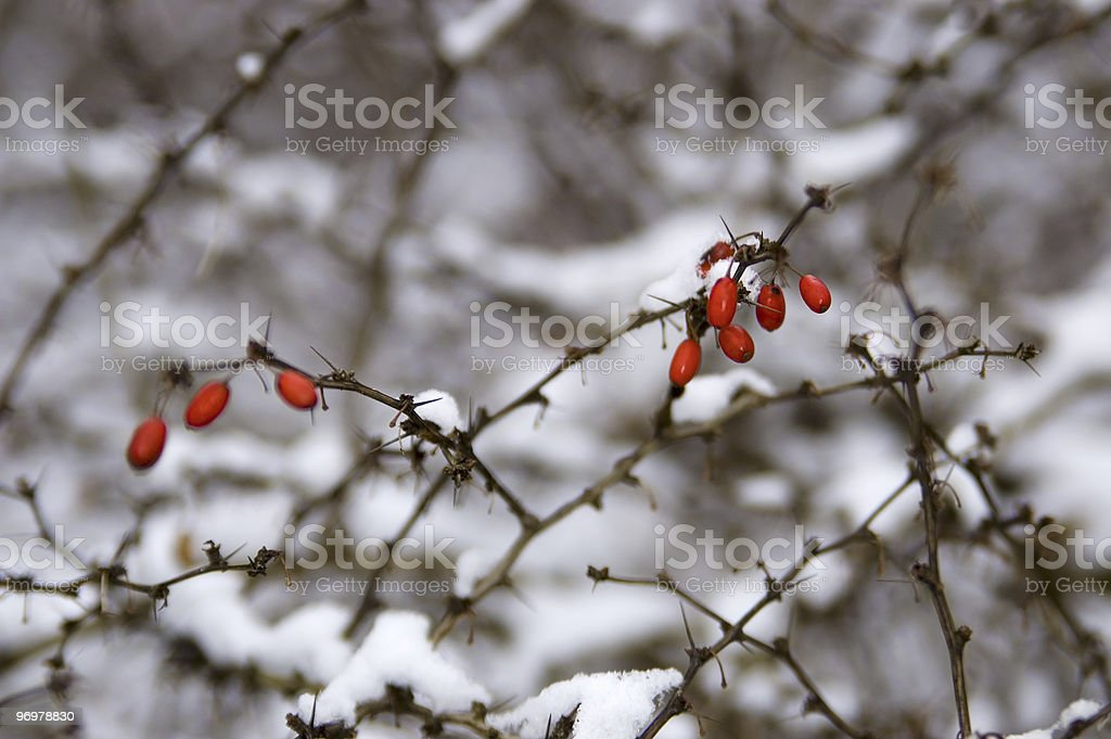 Snowy Red Berries royalty-free stock photo