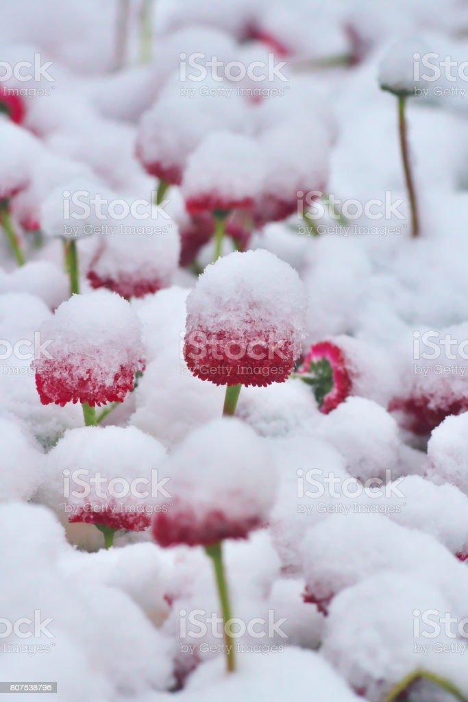 Verschneite rote Hund Gänseblümchen (Bellis Perennis) im Frühling – Foto