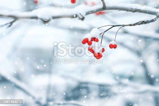 istock Snowy red rowan 1067464212