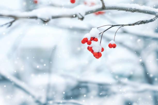 Snowy red rowan stock photo