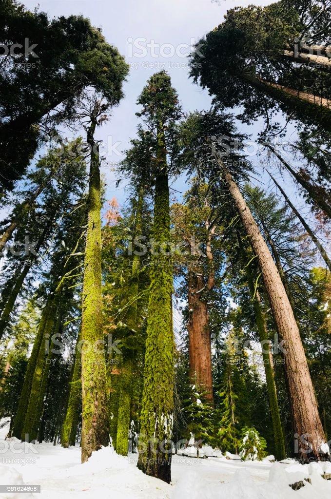Snowy Sequoias stock photo