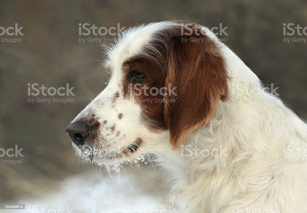Snowy setter portrait stock photo