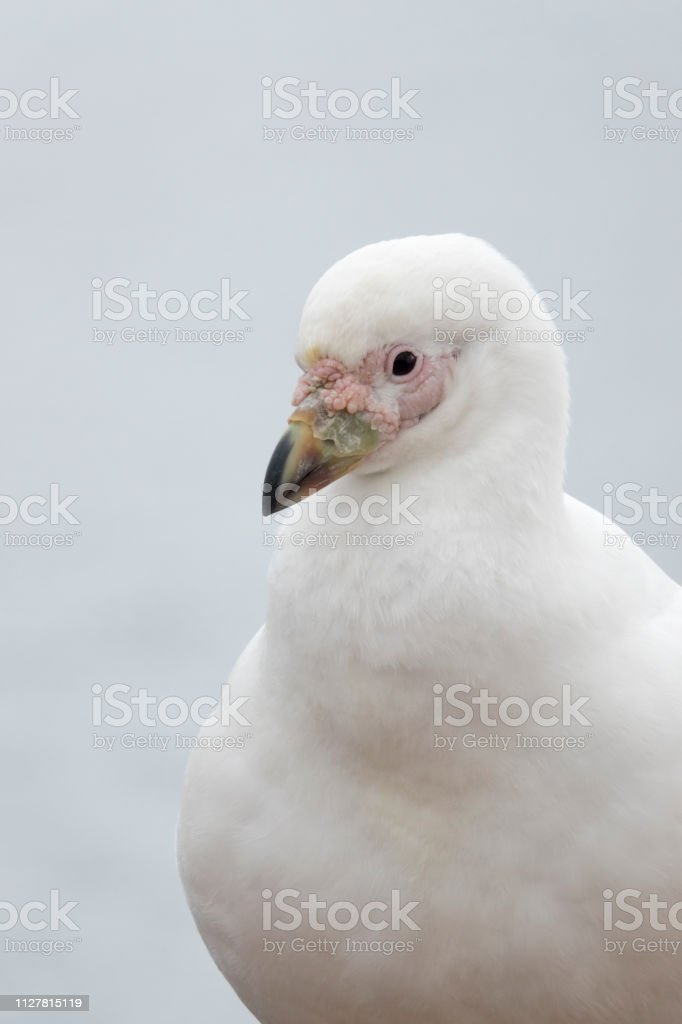 Snowy sheathbill closeup Danco Island Antarctica Gerlache Strait Antarctica stock photo
