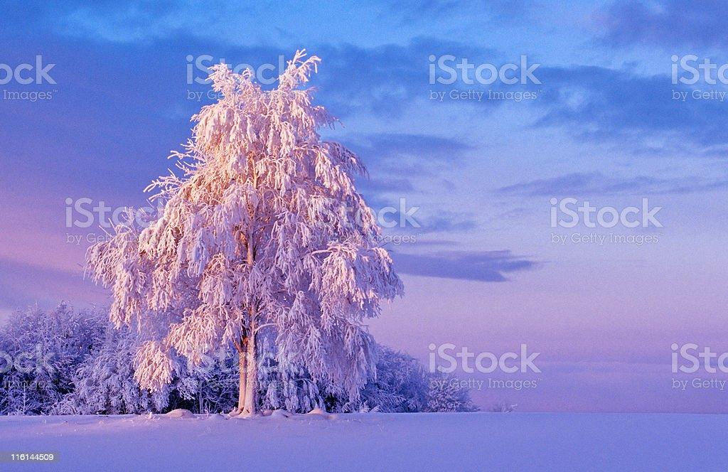 Snowy tree at dawn royalty-free stock photo