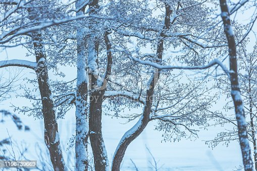 Trunks and branches of trees in the snow. Hoarfrost on the branches. Snowy trees in the forest. Winter forest landscape