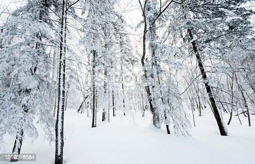Snowy trees in the forest.