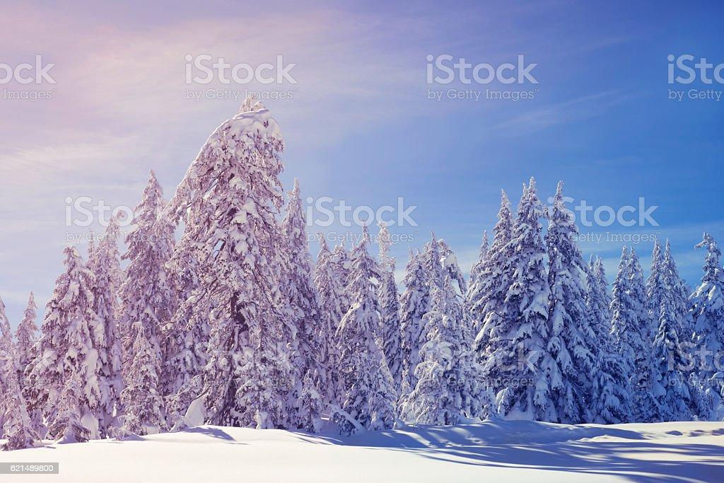 Snowy Trees Trees heavy with snow Adventure Stock Photo