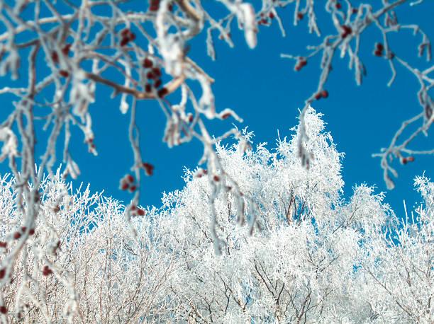 Verschneite Bäume – Foto