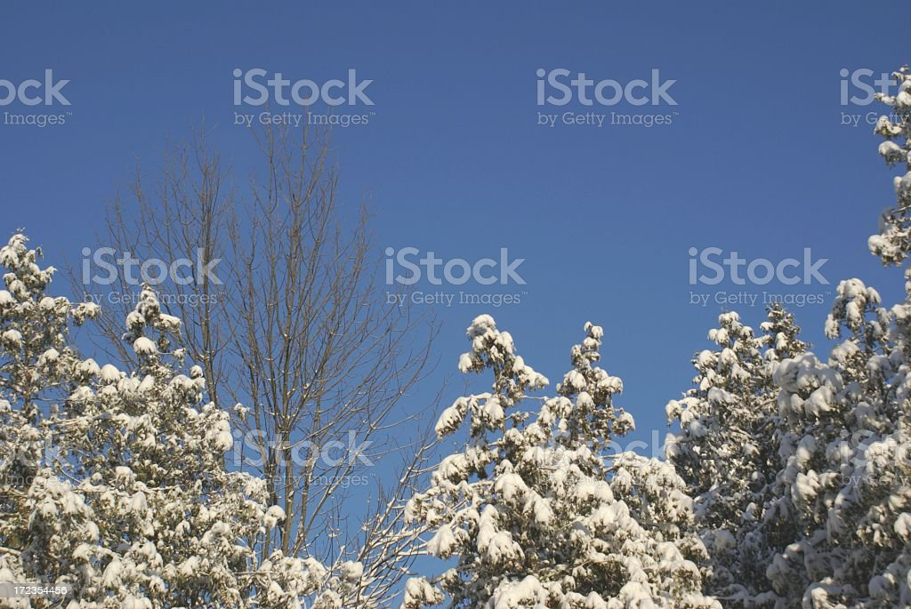 Snowy Trees Under a Blue Sky royalty-free stock photo