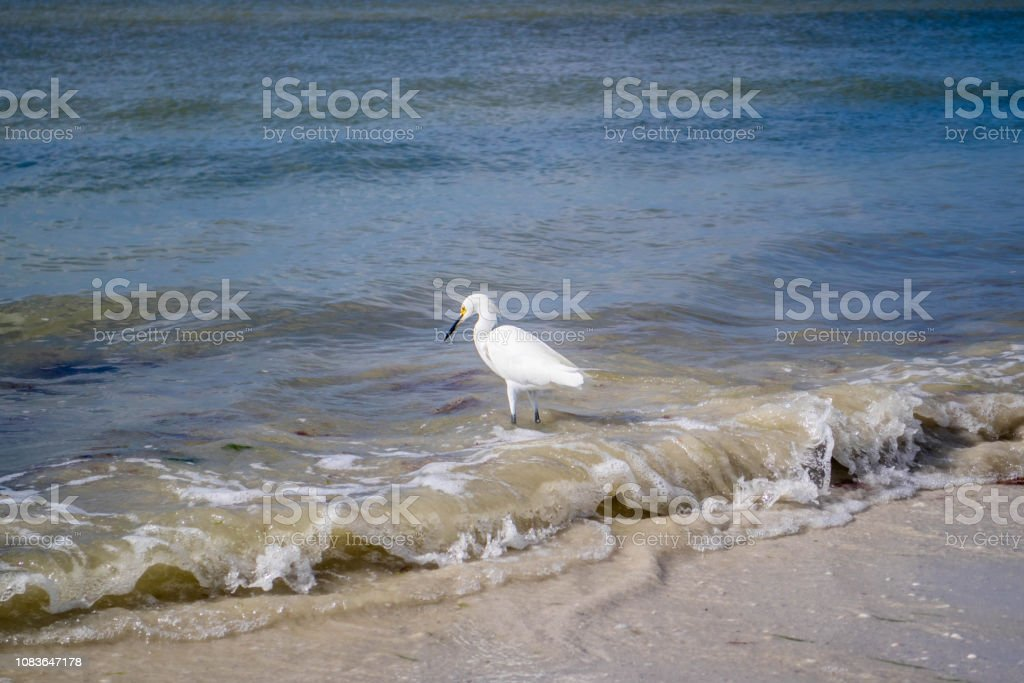 A Snowy White Egret in Fort Myers, Florida stock photo