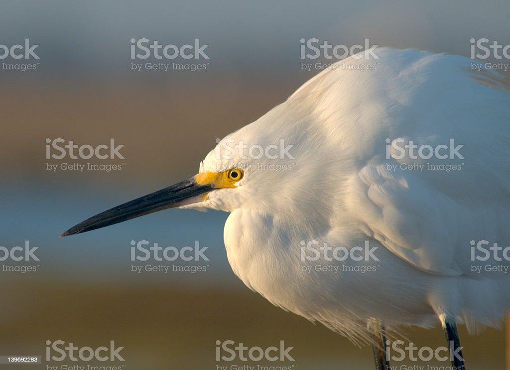 Garça branca de neve - foto de acervo