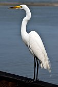 Egret in the wild at Florida, USA