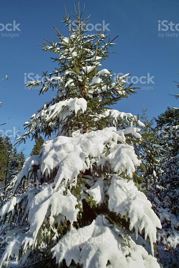 snowy winter fir in front blue sky royalty-free stock photo