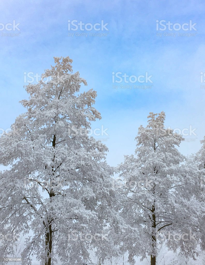 Snowy winter frosted trees with a blue sky stock photo