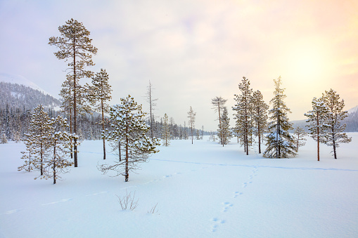 Snowy winter landscape - pine trees covered snow