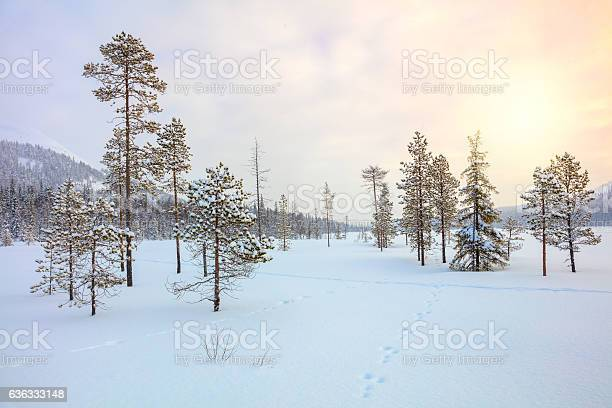 Photo of Snowy winter landscape - pine trees covered snow