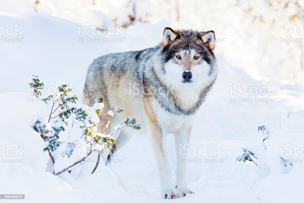 Snowy wolf stands in beautiful winter forest royalty-free stock photo