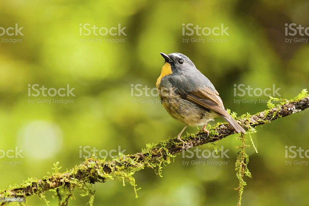 Snowy-browed Flycatcher from Doi inthanon, thailand royalty-free stock photo