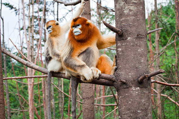 snub-nosed monkey stock photo