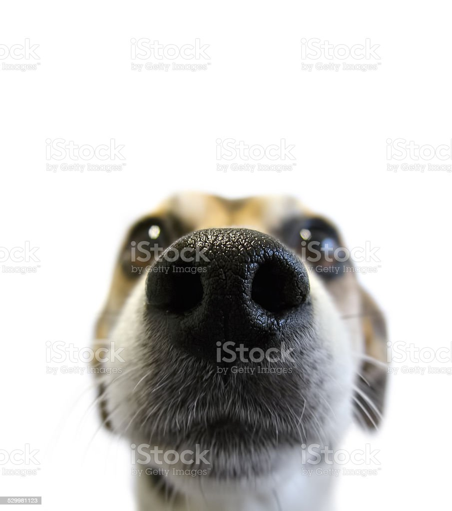 snuffling dog stock photo