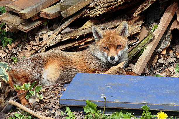 snug red fox vulpes vulpes resting in london garden - whiteway fox stock photos and pictures